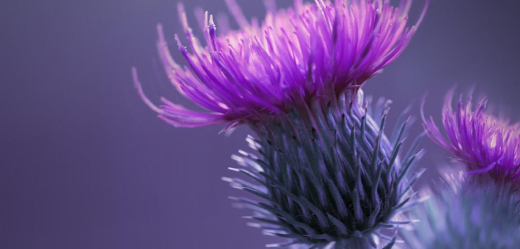 Mariendistel, die Leberpflanze - Wissenswertes rund um die Arzneipflanze des Jahres 2021